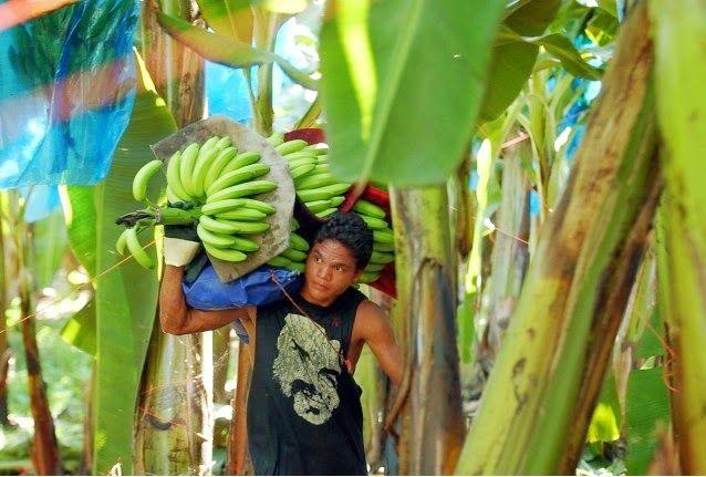 Banane: estinzione vicina per malattia di Panama