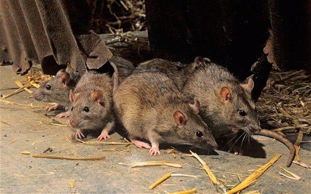 Una neonata messicana è stata uccisa da vari ratti. La madre l'aveva lasciata sola in culla per recarsi a una festa. La donna è stata arrestata