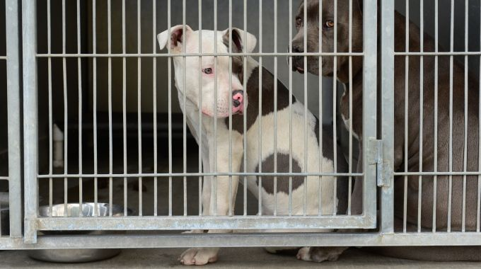 Genova, Polizia sgomina giro combattimenti clandestini tra cani