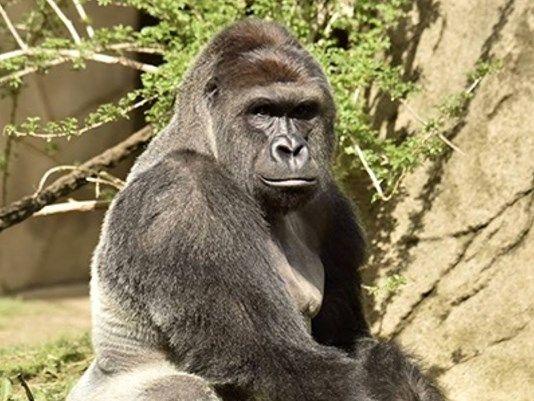 Gorilla ucciso nello zoo di Cincinnati per salvare bimbo