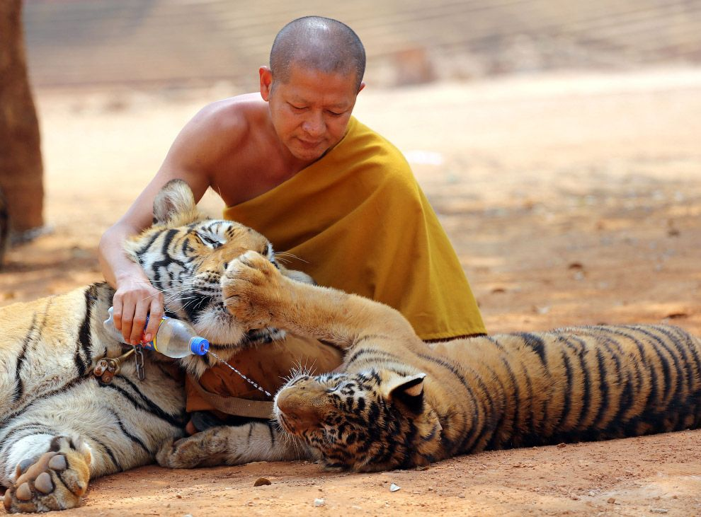 Carcasse cuccioli tigre nel tempio buddista
