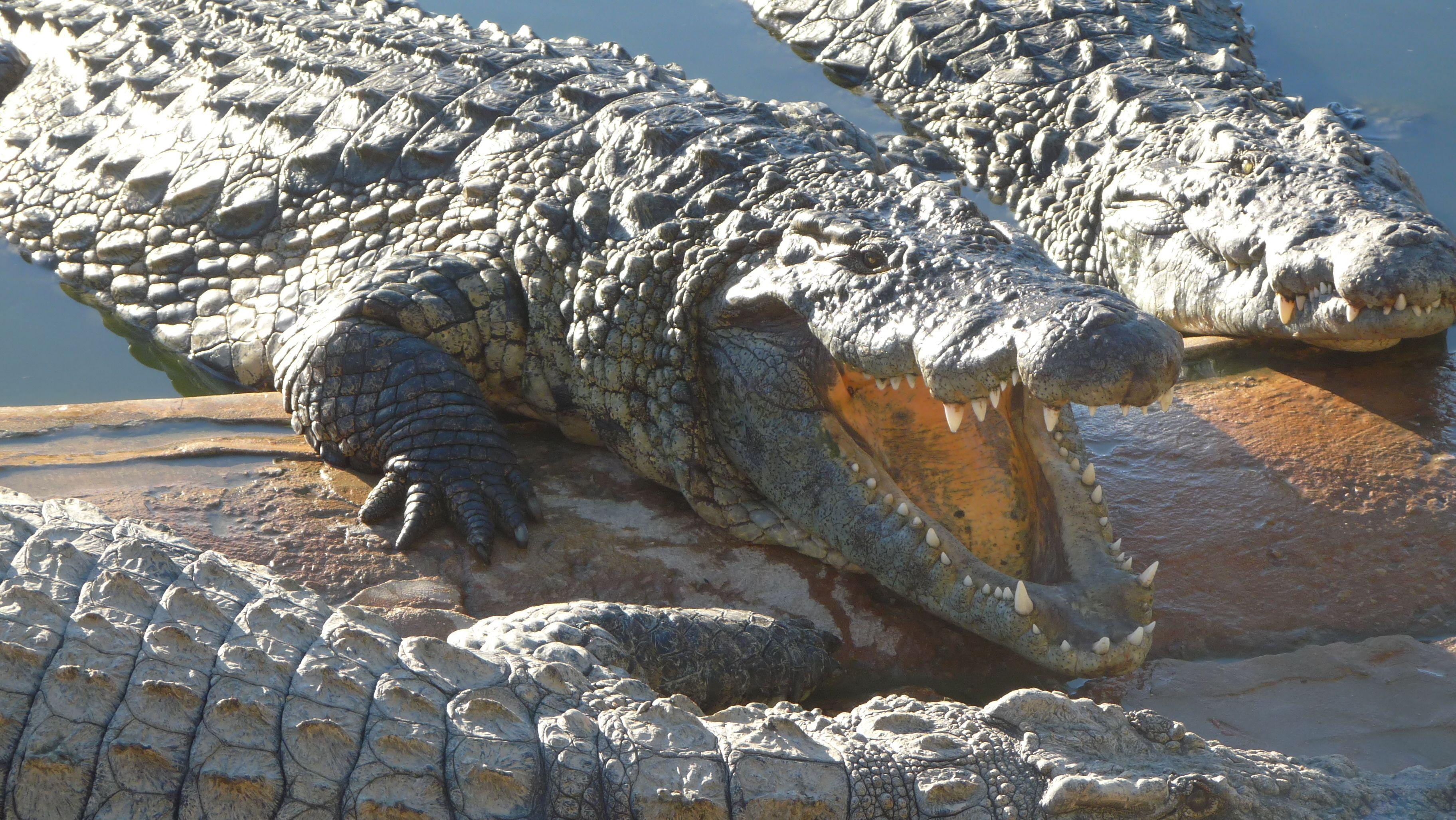 Alligatore trascina in acqua bimbo